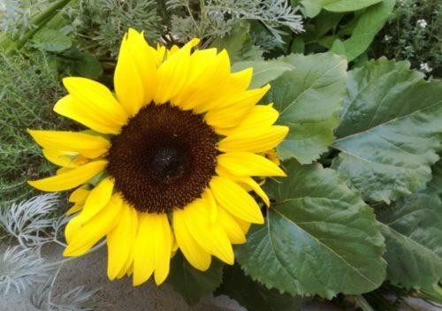 Цветок подсолнуха гибридного сорта Затмение с темной сердцевиной