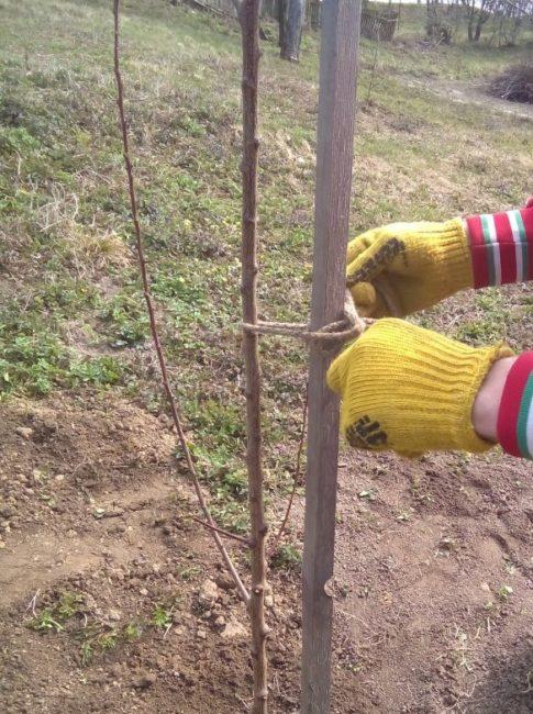 Подвязка саженца вишни тонкой бечевкой к деревянной опоре