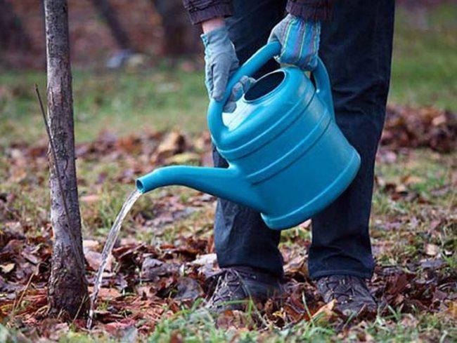 Полив из синей лейки вишневого деревца в весенний период