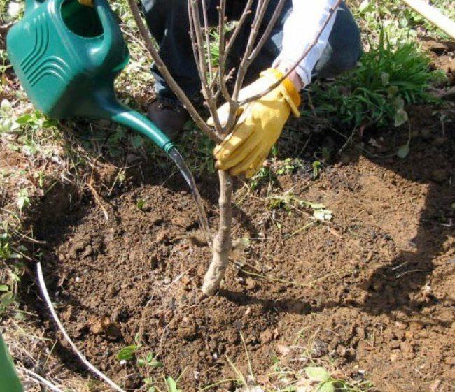Полив из садовой лейки саженца вишни в процессе посадки на дачном участке