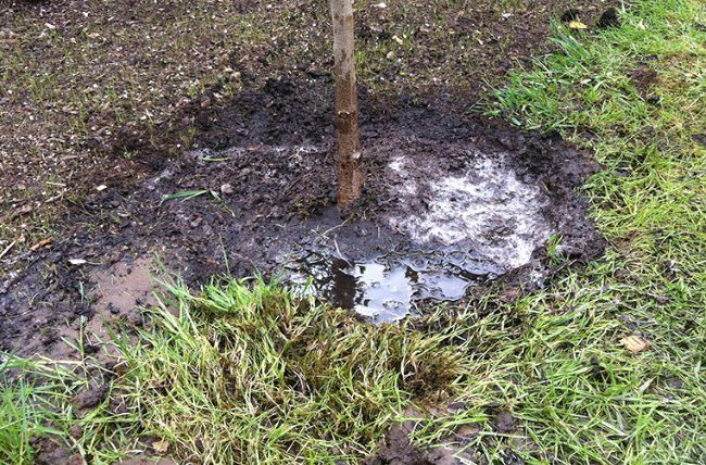 Приствольный круг вишни после обильного полива в начале весны