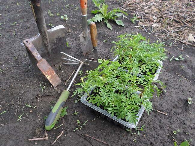 Инструменты для высадки рассады бархатцев в открытый грунт