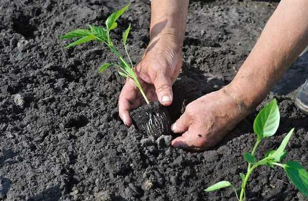 Высадка рассады жгучего перца в открытый грунт садового участка