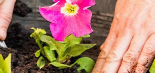 Посадка петунии в открытый грунт руки садовода