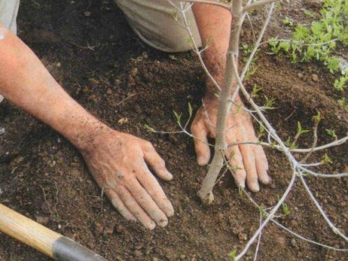 Уплотнение грунта руками в приствольном круге при посадке вишни