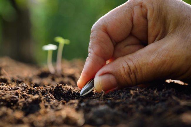 Посадка семечки масличного подсолнуха в открытый грунт садового участка