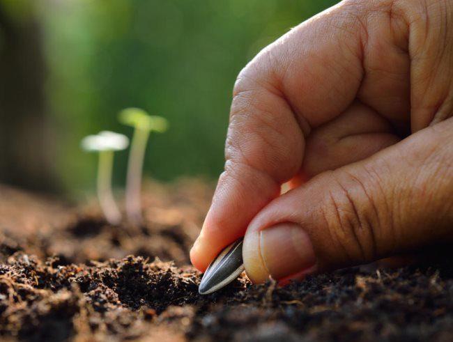 Посадка семечки подсолнечника в грунт садового участка в Сибири