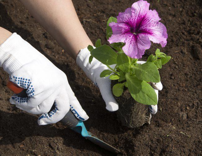 Высадка саженца петунии с сиреневым цветком на клумбу открытого грунта