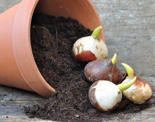Крупные луковицы тюльпанов с молодыми ростками зеленого цвета