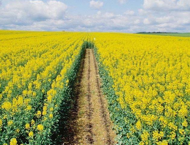 Выращивание ярового рапса а картофельном поле в качестве сидерата