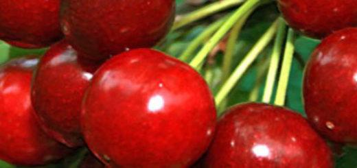Спелые плоды вишни сорта Расторгуевская