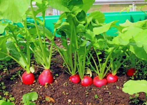 Красные корнеплоды редиса на огородной грядке