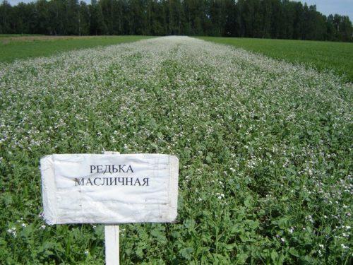 Начало цветения масличной редьке на участке для картошки