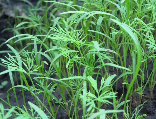 Молодые ростки укропа после посева замоченными семенами в открытый грунт