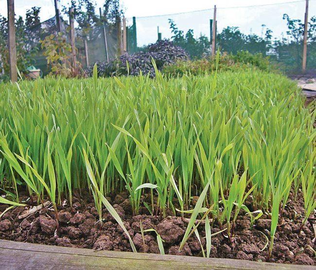 Улучшение глинистой почвы с помощью посева ржи как сидерата