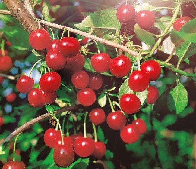 Светло-красные плоды вишни сорта Стандарт Урала на ветках деревца среднего роста