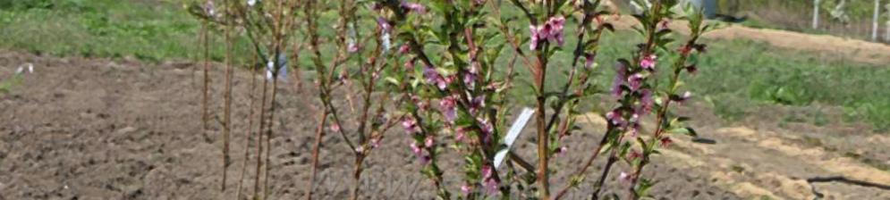 Саженец вишни цветёт весной в саду