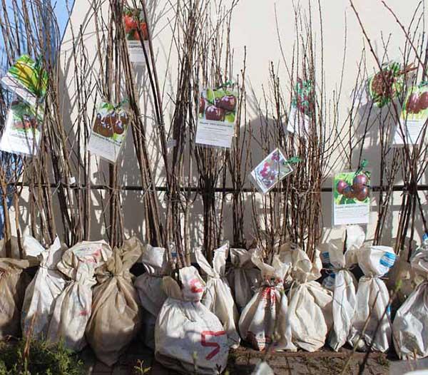 Саженцы вишни с закрытыми корнями в специализированном питомнике