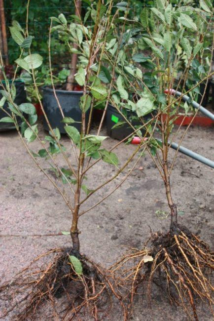 Парочка трехлетних саженцев вишни из питомника перед посадкой на даче
