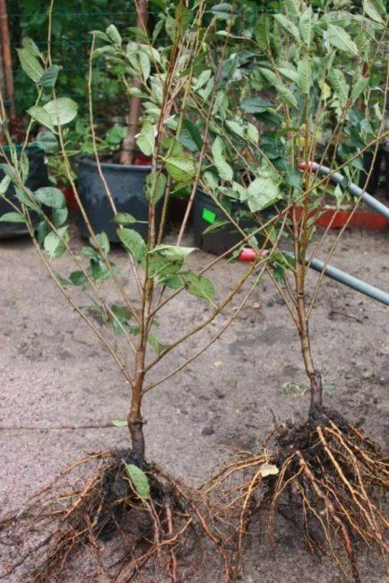 Два крепких саженца вишни с развитой корневой системой для осенней посадки