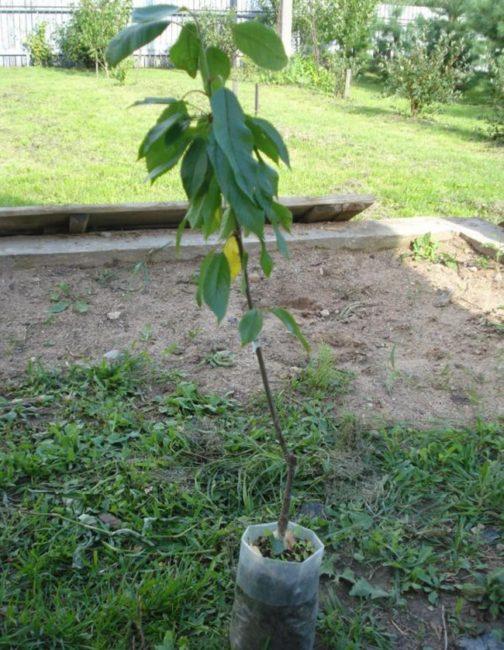 Однолетний саженец вишни с зелеными листочками и тонким стеблем