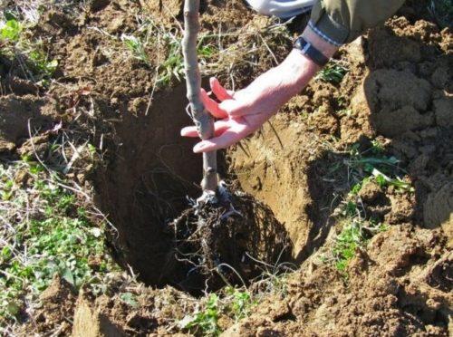 Правильное расположение саженца вишни в посадочной яме