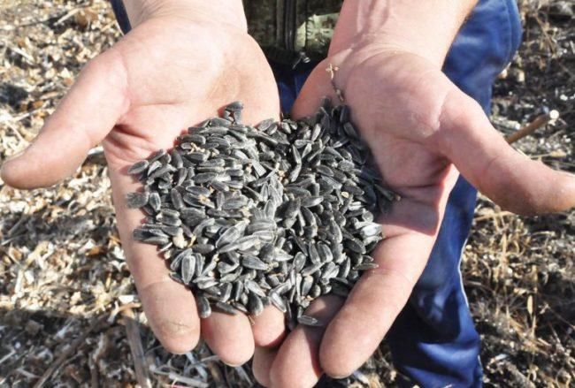 Горстка сырых семечек для посадки подсолнечника на дачном участке