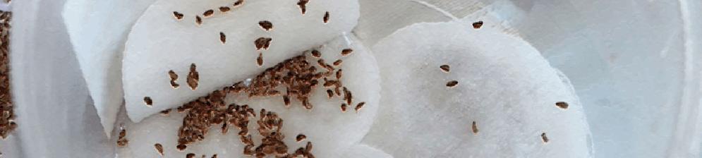 Замоченные семена укропа в ватном диске