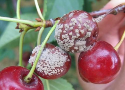 Признаки заражения вишни серой гнилью в виде белого налета на плодах