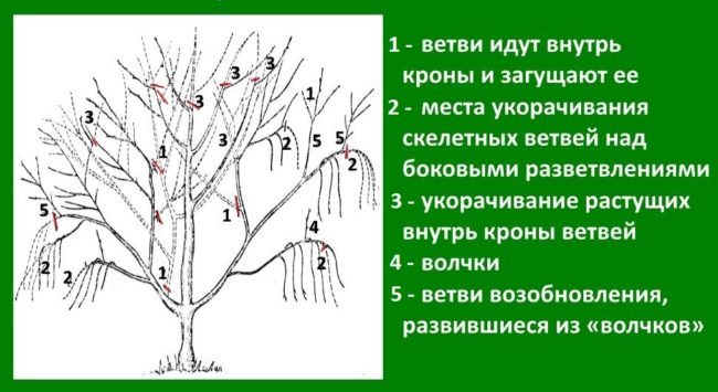 Схема весенней формирующей обрезки взрослого куста вишни