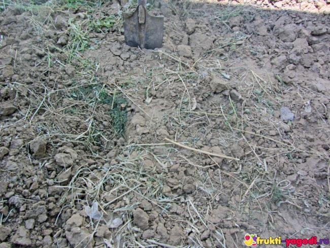 Перекопанные сидераты в тяжёлой глинистой почве