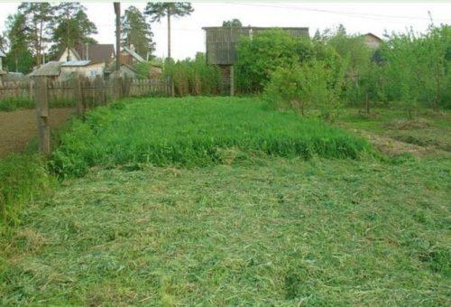 Скос зеленого овса на дачном участке площадью 6 соток