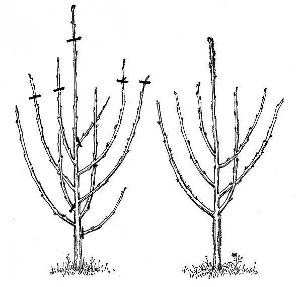 Схема весенней обрезки вишневого дерева с указанием мест удаления веток