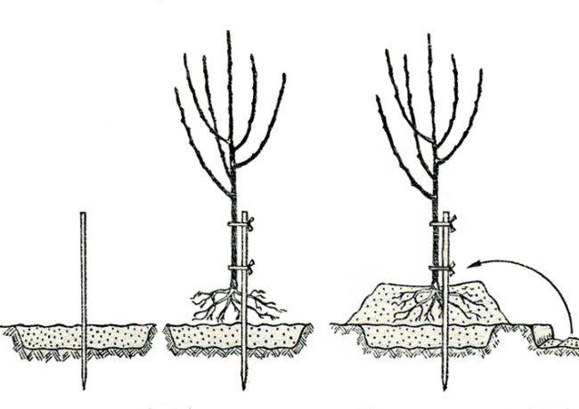 Схема посадки саженца вишни на холм в условиях Урала и Сибири