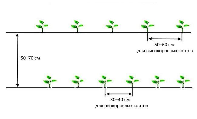 Расстояние между кустиками острого перца при посадке в открытый грунт