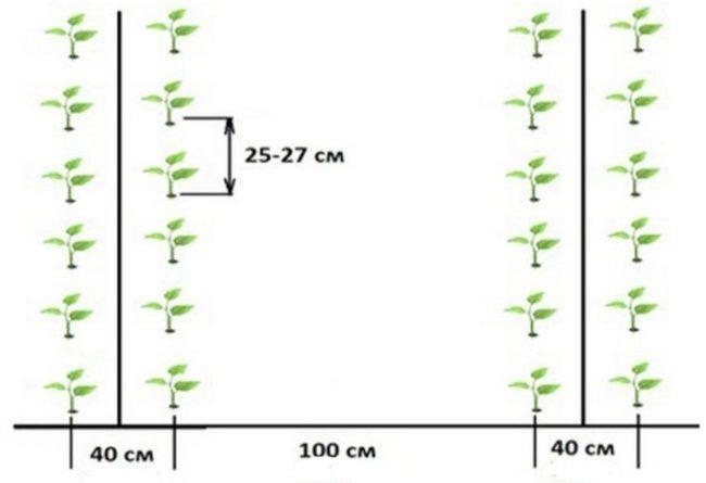 Схема посадки острого перца в открытый грунт дачного участка