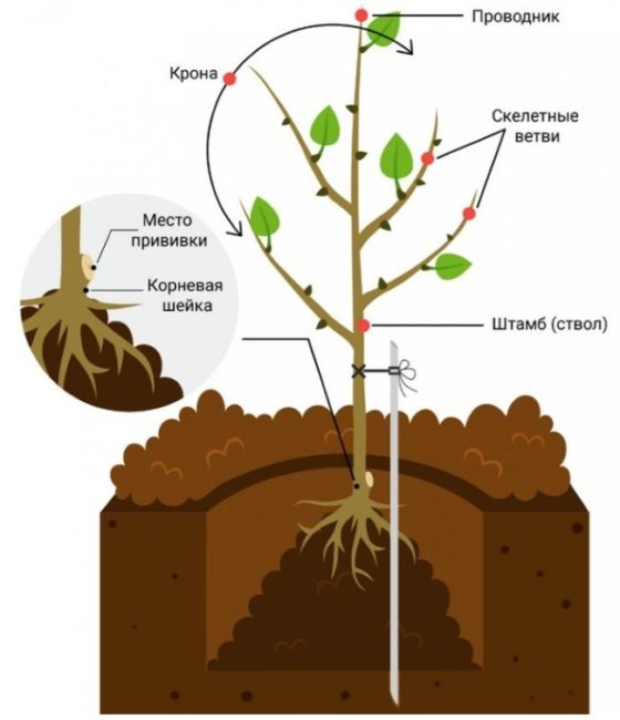 Схема размещения саженца вишни в просадочной яме с опорным колом