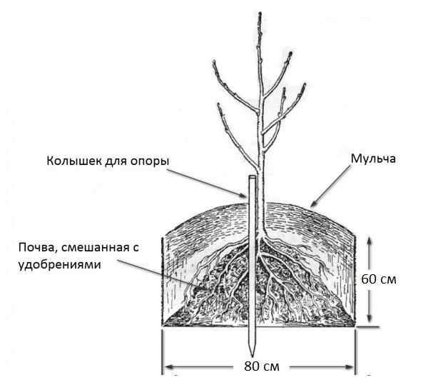 Схема посадки на даче вишневого саженца в весенний период