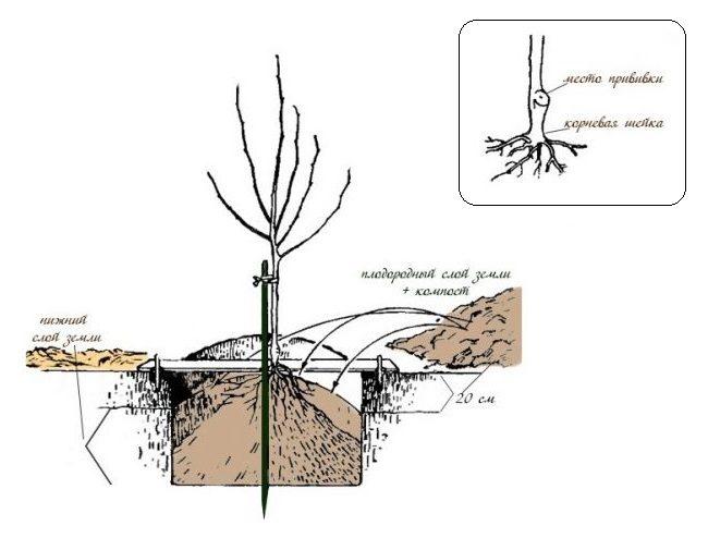 Схема обустройства посадочной ямы для саженца вишни