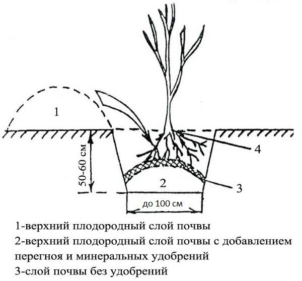 Схема ямы для весенней посадки саженца вишни в Ленинградской области