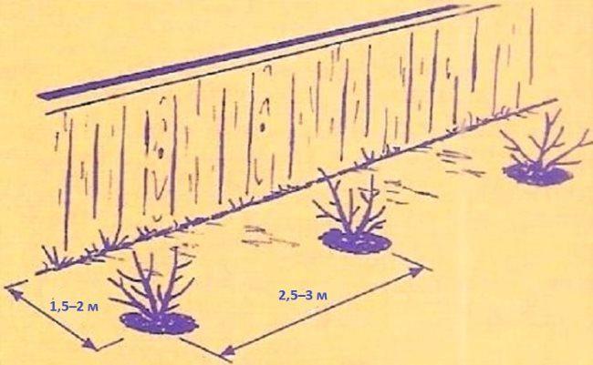 Схема высадки вишневых саженцев с южной стороны деревянного забора