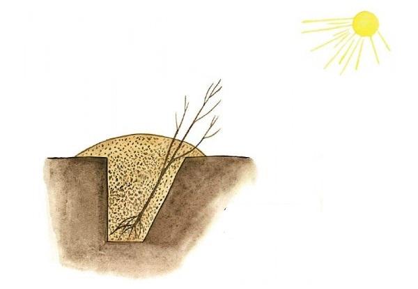 Схема прикопа на зиму вишневого саженца для последующей посадки весной
