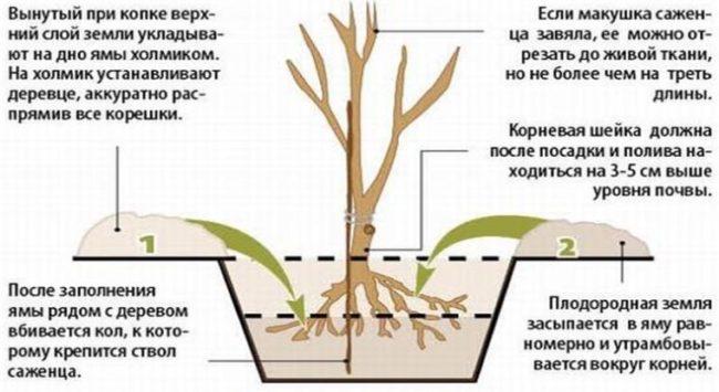 Схема осенней посадки двухлетнего саженца венгерской вишни