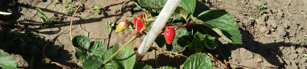 Слабый урожай клубники в первый год две ягодки на кусте
