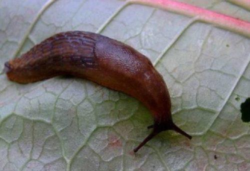 Коричневый слизень на обратной стороне листа жгучего перца