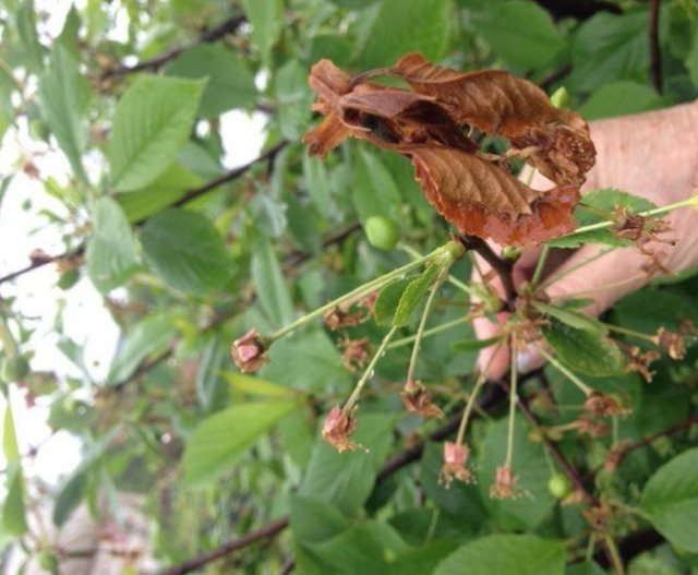 Засыхание цветочных завязей на ветке садовой вишни гибридного сорта