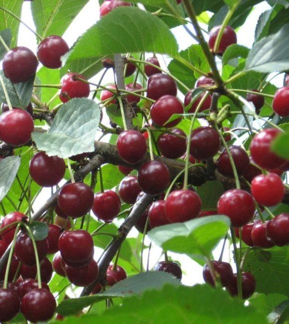 Ветки вишни гибридного сорта Ливенская с плодами темно-красного цвета