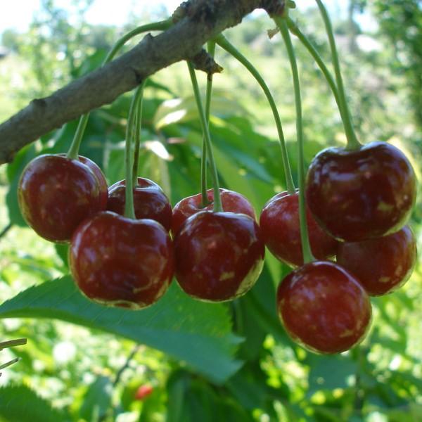 Созревание плодов на ветке взрослой вишни сорта Расторгуевская