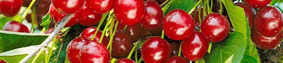 Стандарт Урала спелые плоды сорта вишни на дереве