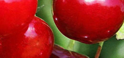Спелые плоды сорта вишни студенческая